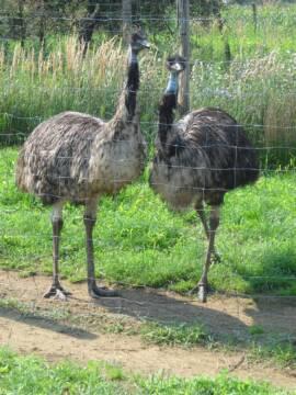 A kifejlett emu 170-180 cm magasan hordja a fejét és körülbelül 35-40 kilót nyom