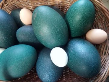 emu eggs shell
